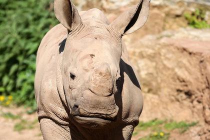 Бесстрашный детеныш носорога попытался защитить мать от браконьеров