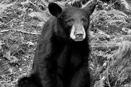 Слишком дружелюбного медвежонка убили из-за туристов