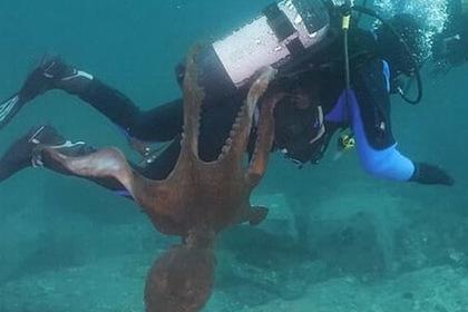 Навязчивый осьминог обвил щупальцами дайвера