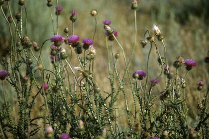 Найдено способное бороться с гепатитом C растение