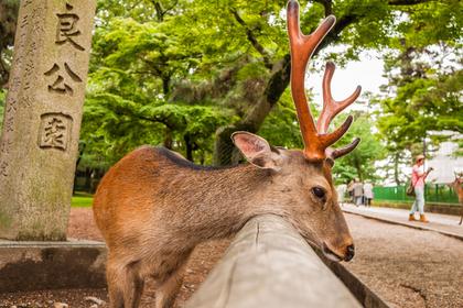 Жадность туристов погубила священных оленей