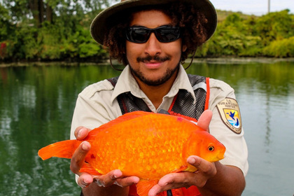Золотая рыбка пережила путешествие через канализацию и попала в реку