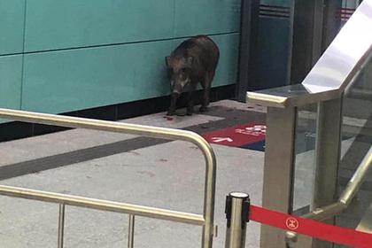 Дикий кабан ворвался на станцию метро и ранил женщину