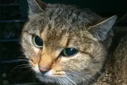 Редкую кошку-лису обнаружили во Франции
