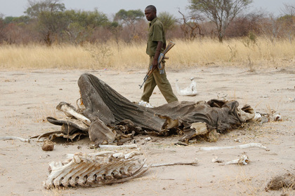 Коза отомстила браконьерам за преследование носорога