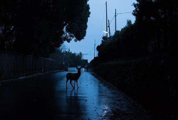 """Белый олень в Японии считается божественным посланником. Они живут в лесах неподалеку от древнего города Нара, который стал туристическим. А по ночам выходят в город и свободно рассекают по пустым, безлюдным улицам, пока город спит. «Оторванный от человеческих забот свободный олень в Наре ходит вокруг, как будто он владеет миром, словно говоря: """"Улицы — наши""""», — замечает фотограф Йоко Иши."""