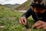 Кордицепс китайский произрастает также на высокогорных альпийских лугах в Гималаях в Тибете, но там его поиски и сбор еще сложнее, поэтому основным районом «тихой охоты» является именно горный массив Амнэ-Мачин-Шань. Гриб едва заметен даже в невысокой траве, а для его сбора грибникам приходится буквально ложиться на холодную землю.
