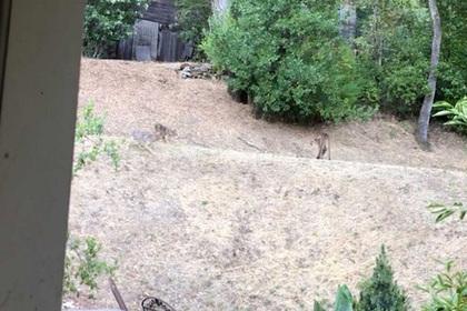 Перепалка койотов и пумы на заднем дворе дома попала на видео