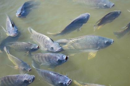 Мужчина случайно проглотил живую рыбу и умер