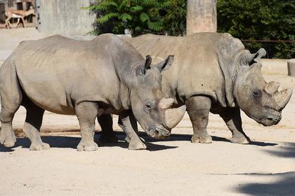 Молодому носорогу привезли двух взрослых самок для обучения науке любви