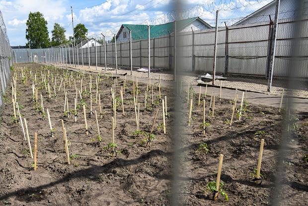 На территории ИК-2 есть огород, где тоже работают заключенные. Здесь выращивают томаты и другие овощи, которые потом идут на стол или отправляются на консервацию, чтобы пополнить тюремное меню зимой.