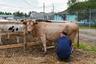 На территории ЛИУ-19 есть своя молочно-товарная ферма. Отсюда молоко отправляется в ИК-2 — в цех по переработке, после чего, уже пакетированное, распределяется по колониям Мордовии.