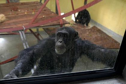 Осиротевшая обезьяна десять лет лечилась от депрессии