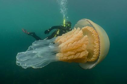 Найдена аномально большая медуза размером с человека