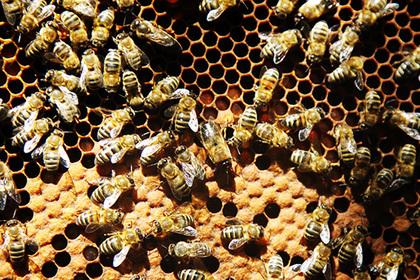 Власти отреагировали на потерю триллиона рублей из-за пчел