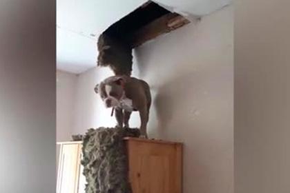 Толстый пес провалился сквозь потолок и рассмешил пользователей сети