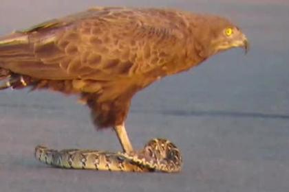 Орел растерзал живую гадюку на глазах у туриста