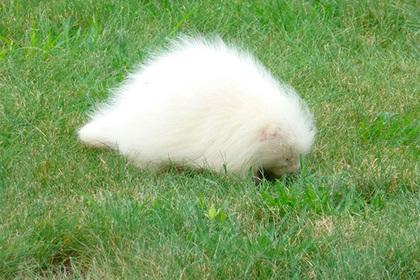 Загадочное пушистое существо оказалось редчайшим дикобразом-альбиносом