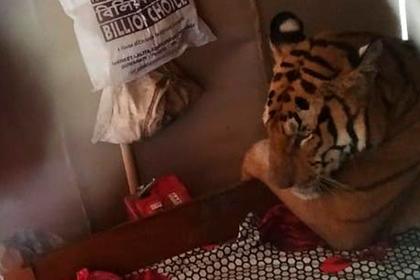 Тигр испугался наводнения и залез в жилой дом