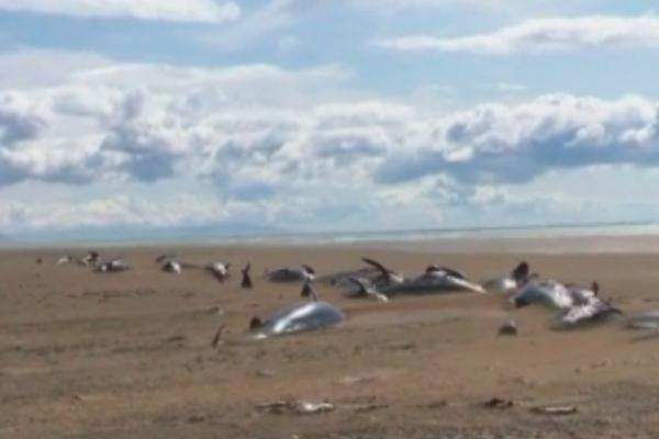Десятки мертвых дельфинов выбросило на берег Исландии