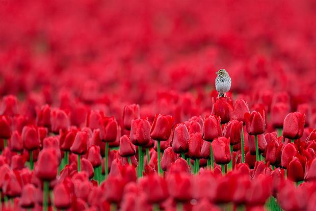 «Для поездки на тюльпанные поля я вооружился широкоугольными объективами, которыми снимают типичные пейзажи, и понял, что в тех местах можно делать фотографии совсем другого рода, лишь увидев на цветке саванную овсянку, издающую территориальный крик, — рассказывает фотограф Майкл Деспайнз, сделавший этот снимок в американском штате Вашингтон. — Через неделю вернулся туда с другими объективами и стал изучать птицу. Часто она предпочитала самый высокий тюльпан в округе и оставалась в поле одного цвета. Я нашел овсянок в полях с розовыми, пурпурными, желтыми и оранжевыми цветами».