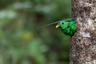 «Во время поездки на Коста-Рику мне представилась возможность снять пару впечатляющих представителей семейства трогоновых в их гнезде, — утверждает фотограф-любитель Кори Раффел. — Каждые 20 минут там показывались самец или самка с насекомым или диким авокадо для птенцов. На этом кадре самец уже принес им еды и выглянул из дупла».