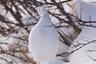 «Я искал на берегах Гудзонова залива белых медведиц с детенышами, которые выходят из своих берлог, и наткнулся на скопление белых куропаток, — вспоминает фотограф Питер Хартлав. — Выбираюсь из своих саней, натягиваю громоздкие варежки и стараюсь, насколько это возможно, прижаться к земле. Смотрю— одна отставшая птица принялась прыгать, чтобы пощипать ветку дерева. Я никогда не слышал, чтобы они так делали. Щелкал затвором и улыбался, фотографируя многочисленные прыжки. Этот кадр передает момент лучше всего».