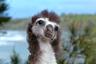 «Пока взрослые темноспинные альбатросы ищут еду на севере обширного Тихого океана, птенцы остаются без присмотра, — объясняет Хоб Остерлунд, сделавший этот кадр на гавайском острове Кауаи. — Часто малютки проводят время бодрствования, изучая окрестности. Они строят новые гнезда, подбирают с земли разные вещи и тянут за ветки, как щенята за тапки. Когда становятся постарше, начинают интересоваться всем, что летает: птицами, пчелами, бабочками, даже вертолетами и самолетами. Этот птенец смотрел на пролетавшего альбатроса».