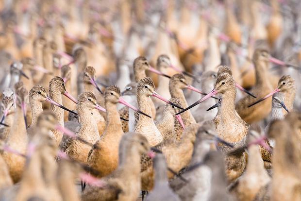 «Я живу возле болота в районе залива Сан-Франциско, — объясняет фотограф-любитель Алан Кракауэр. — Через него идет вымощенная досками дорога. Однажды я был там во время высокого прилива, и в отдалении на дорогу хлынули потоки улит и веретенников. Пернатые все летели и летели, поэтому уже усевшимся приходилось уступать место новоприбывшим. Получилось, что в мою сторону ковыляют сотни береговых птиц. Я лег на доски, чтобы оказаться на уровне их глаз, и сделал этот крупный план, на который попали преимущественно веретенники».