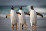 «Погода была ясной, поэтому я лежал на пляже и ждал шанса, чтобы снять прыгающих из прибоя папуанских пингвинов, — говорит фотограф Джошуа Галики, сделавший этот снимок на Фолклендских островах. — К моей радости, из воды показалась эта троица и направилась прямо ко мне. Кажется, в этом кадре пойман характер каждой птицы. Передо мной были лучшие друзья: слева комик, главарь в середине, а справа — модель на подиуме».