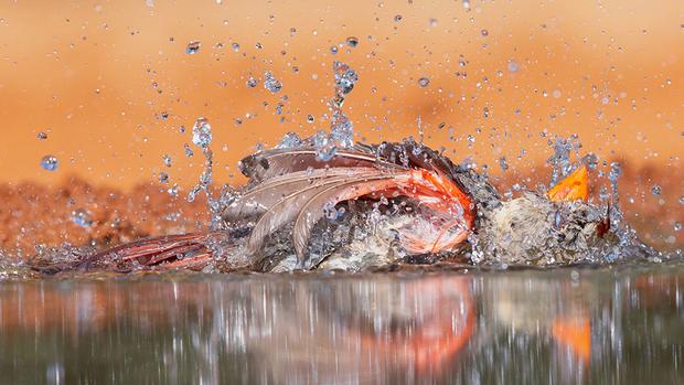 «Я поехала в Южный Техас фотографировать птиц и нервничала, что придется заниматься этим при 40-градусной жаре, — говорит автор этого снимка Энн Пачеко. — Захватила с собой все охладительные приборы, какие только можно. Целый день снимала певчих птиц из укрытия и поняла, что мой дискомфорт — ничто по сравнению с тем, как страдают они. Укрытие позволило мне фотографировать возле маленького искусственного пруда. Когда особи вроде этой самочки красного кардинала осторожно приближались к воде, я болела за то, чтобы они напились, поплавали и охладились».
