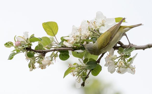 «Я решил ехать домой проселками, потому что цвели яблони, а я знал, что зеленые пеночковые певуны очень их любят, — описывает фотограф Марк Пол историю этого кадра, сделанного в американском штате Вермонт. — По дороге остановился сфотографировать птиц, используя машину в качестве укрытия. Небо было ярким и облачным, поэтому я подумал, что снимки могут получиться интересными».