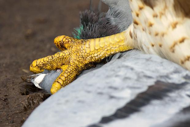«В феврале я фотографировала водоплавающих птиц в парке близ озера Онтарио, — говорит фотограф-любитель Натали Робертсон. — Вдруг позади тревожно закричала сойка. Вижу белую вспышку пикирующей к земле крупной хищной птицы. До нее примерно 12 метров, поскорее подбираюсь поближе. К моему потрясению, прямо на меня вылетает краснохвостый сарыч с голубем в когтях и бросает его в грязь. Мы смотрели друг на друга, кажется, вечность».