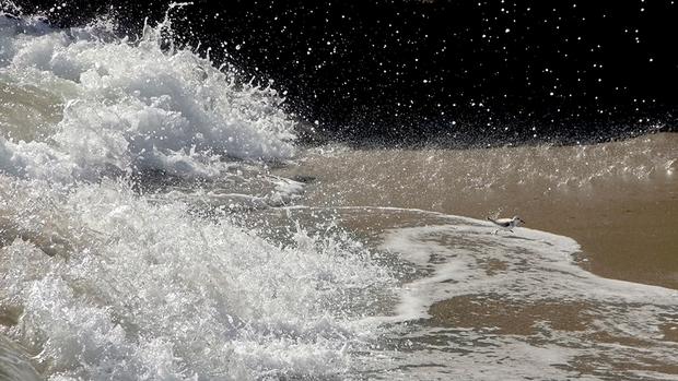«Я наблюдал за песчанками, которые бегали по берегу моря в поисках корма, — говорит молодой фотограф Дэвид Фарлоу, сделавший этот снимок в Калифорнии. — Когда волна отступала, они бросались поближе к воде, чтобы быстренько перехватить в мокром песке что-то съедобное, а потом со всех своих маленьких ножек мчались обратно на сушу от новой волны. Этой крохотной песчанке бегство от необычайно большой волны далось особенно тяжело».