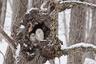 «Мы шли по лесной тропинке на Хоккайдо в особенно морозный день, до вечера оставалось недолго, снег валил все сильнее, — вспоминает  фотограф-любитель Лиза Спроэт. — Когда завернули за последний поворот, отражающегося от снега света едва хватало, чтобы осветить дупло с парой неясытей. Я наблюдала за ними полчаса, и все это время они спали. Единственное движение было, когда они ерзали во сне. Чтобы не смазать кадр своей дрожью, я вцепилась в дерево и примостила объектив на колене».