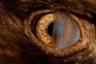«В реабилитационно-образовательный центр для птиц, где я работаю волонтером, принесли беркута, который столкнулся с автомобилем, — рассказывает Джозеф Молотски, сделавший этот снимок в американском штате Вашингтон. — У него была черепно-мозговая травма, отравление свинцом и отслоение сетчатки. С такими сильными травмами его нельзя выпустить на волю, поэтому ему пришлось стать образовательным посланником. На этом кадре мне удалось запечатлеть его третье веко, которое называют мигательной перепонкой».
