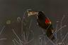 «Холодными утрами я хожу в парк неподалеку от дома, чтобы фотографировать дроздов, и часто стараюсь снять кольца дыма от дыхания, когда они поют, — рассказывает Катрин Свобода из американского штата Вирджиния. — В тот раз я пришла, когда промозглый день только начинался. Со всех сторон слышались голоса дроздов. Одна особенно горластая птица пела долго и усердно. Я выбрала ракурс, с которого она оказывалась на фоне темного леса. При этом объектив был направлен на восток, где над деревьями поднималось солнце, подсвечивая пар сзади».