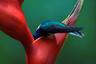 «В пятую поездку на Коста-Рику мои излюбленные птичьи места дали только горстку жалких наблюдений, — рассказывает фотограф Мариам Камал. — Пришлось шесть часов ехать в зону высадки леса, но это того стоило. Я целый час фотографировала группу героических колибри-якобинов, пивших нектар геликоний, которые из-за сильнейшего ветра ходили ходуном. Щелкала, и едва хватало сил вдохнуть; казалось, что и мне приходиться прилагать усилия, чтобы не сдуло!»