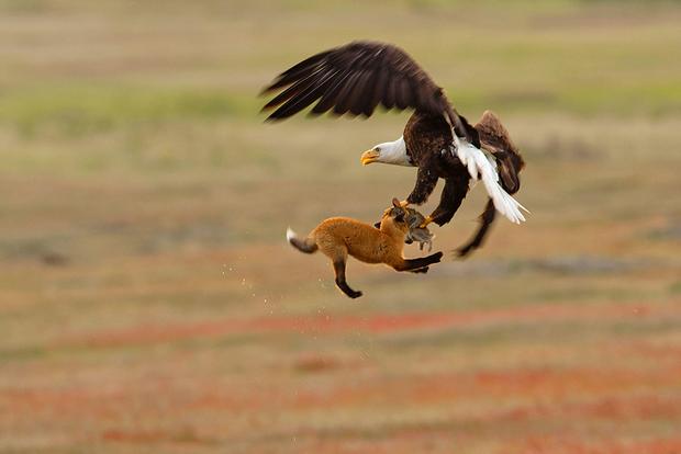«Я провожал объективом лисичку с добычей, когда узнаваемый крик заставил посмотреть вверх. За кроликом, которого поймала лиса, мчался белоголовый орлан, — описывает Кевин Эби историю снимка, сделанного в национальном парке в штате Вашингтон. — У меня была доля секунды, чтобы запечатлеть похищение одним сногсшибательным кадром. Орлан схватил и лису, и кролика. Он поднял их на шесть метров над землей, а через восемь секунд уронил лису, кажется, не причинив ей вреда, и улетел с украденным у нее обедом».