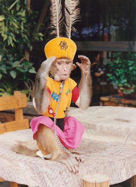 В объектив фотографа попала обезьяна, которую нарядили в одеяния царя. Животное изображает персонажа классического китайского романа «Поход на Запад». Произведение повествует о путешествии монаха Сюаньцзана по Шелковому пути в Индию за буддийскими сутрами. Однако главный персонаж романа— не монах, а его спутник, царь обезьян Сунь Укун.