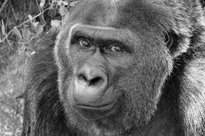 Умерла старейшая в мире горилла-невольница