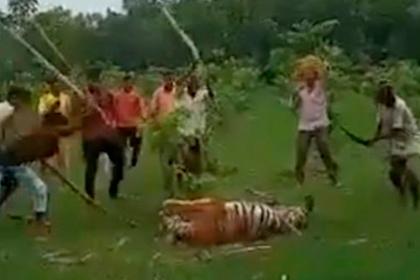 Разъяренная толпа поймала тигра-убийцу и замучила его до смерти