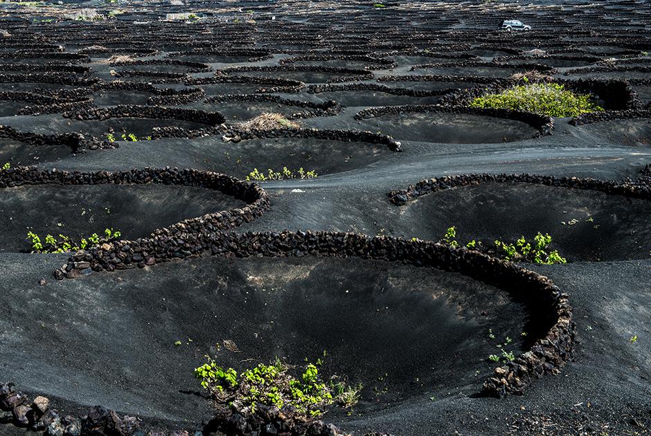 Виноградные лозы в Ла Херия растут в искусственных углублениях в вулканическом грунте