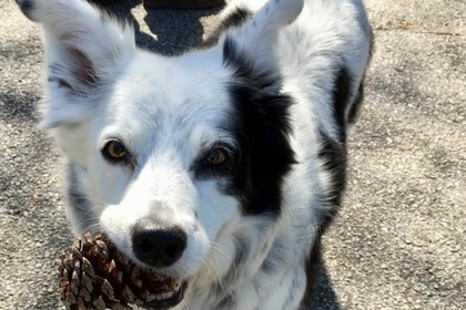 ВСША погибла «самая умная» вмире собачка