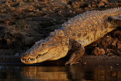 Трехметровый крокодил спрятался от ливня в доме и вызвал панику