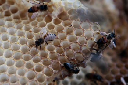 Гибели российских пчел нашли еще одно объяснение