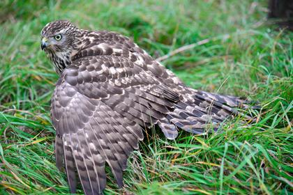 В Сибири погибло 80 процентов потомства хищных птиц