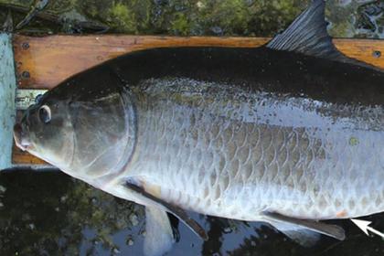 Впервые поймали 112-летнюю рыбу-рекордсмена