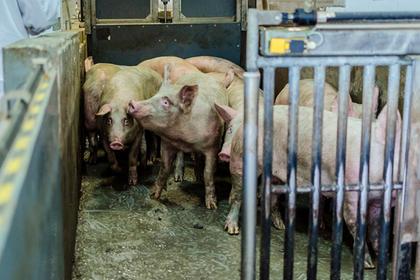 Электричество убило тысячу свиней в российском регионе