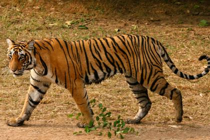 Мужчина отправился по грибы и стал жертвой голодного тигра